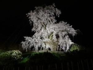 円山公園のライトアップ