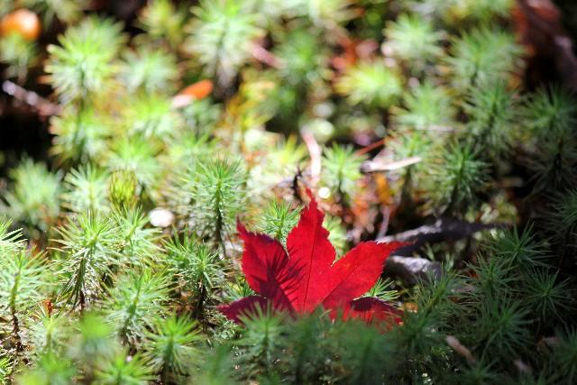 宝筐院の苔