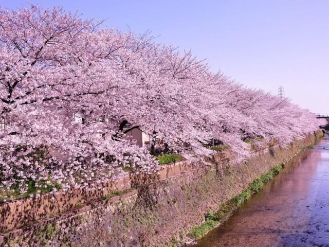 天神川通の桜